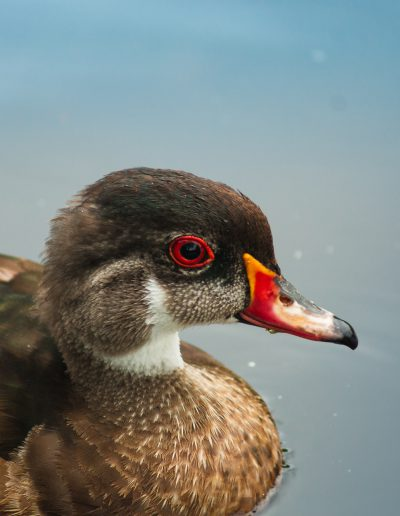 Duck at Burnaby Lake Photograph by Lisa Eva Ernst