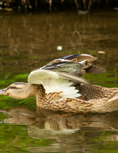 Duck at Burnaby Lake Open Wings Photograph by Lisa Eva Ernst